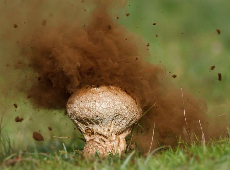 Puffball Mushroom foto cogumelo