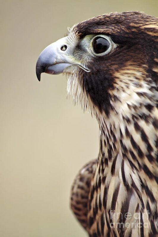 Peregrine Falcon by Charline Xia                                                                                                                                                                                 More