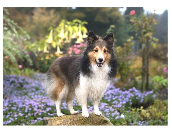 Sheltie Shetland Sheepdog Scene Sable Color On One 16 Inch Etsy Female Dog Names Sheltie Dogs Dog Names