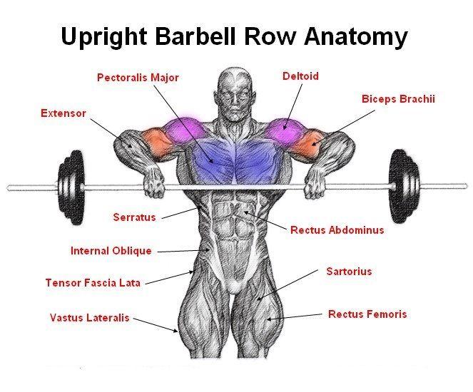 Upright Barbell Row Anatomy