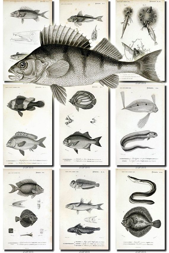 FISHES-27-bw Collection of 109 vintage images Ruff Roach Perch Catfish Burbot Carp picture High resolution digital download printable animal           data-share-from=listing        >           <span class=etsy-icon