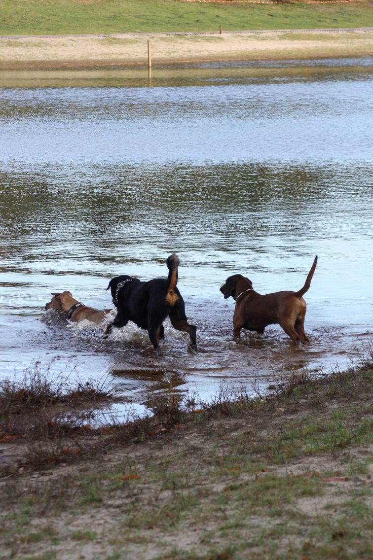 playing with friends! Bavarian Mountain Hound