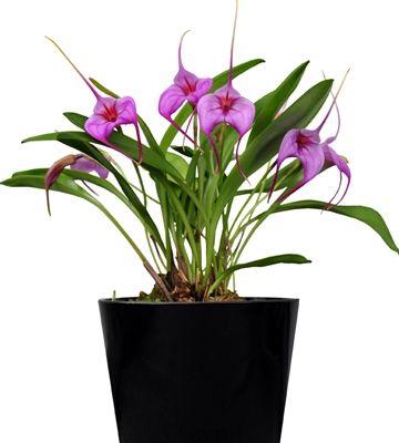 Orkidea Bellavallia Purple