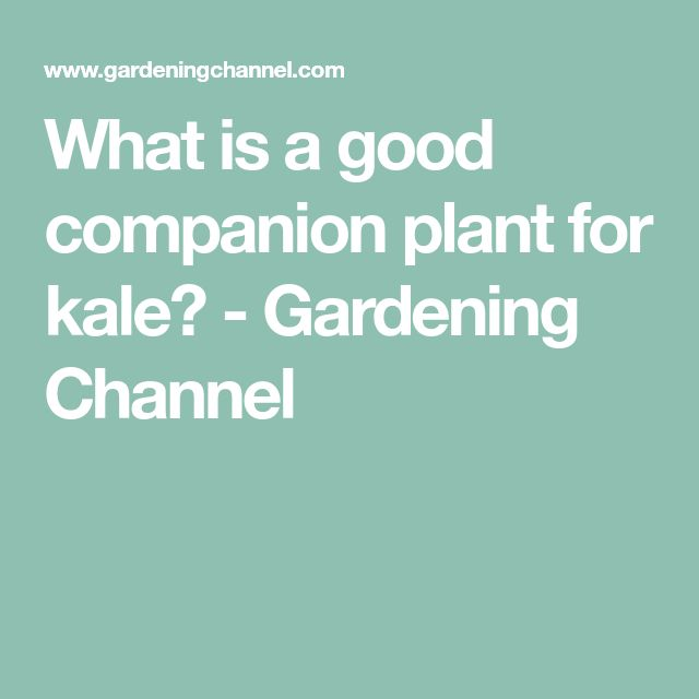 What is a good companion plant for kale? - Gardening ... Companion Planting Kale