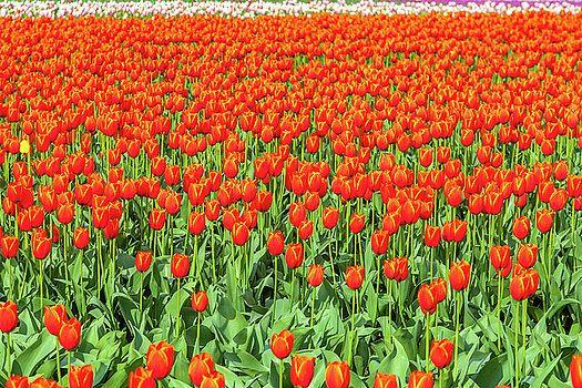 Art Calapatia - Orange Tulips 4