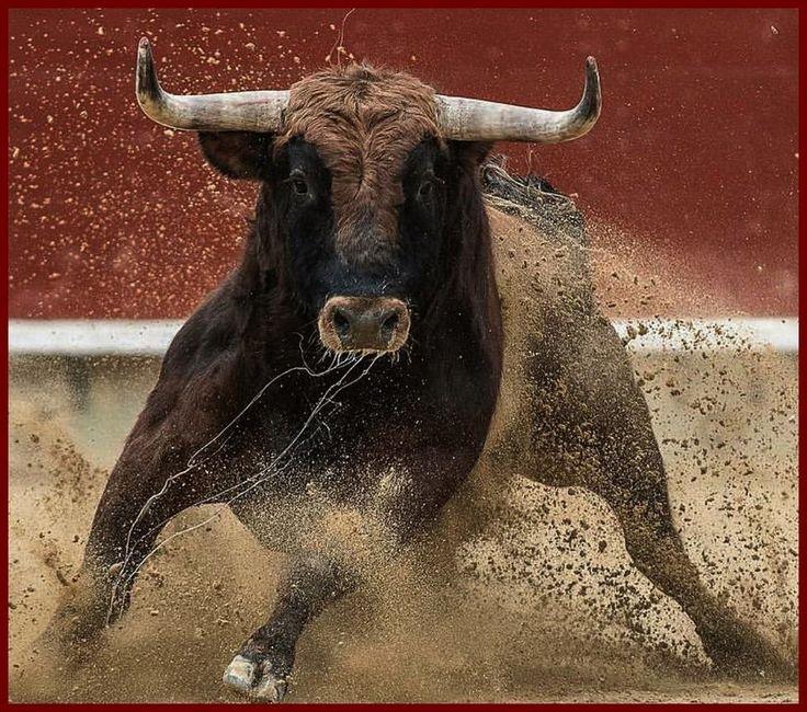 бык в ярости фото фото