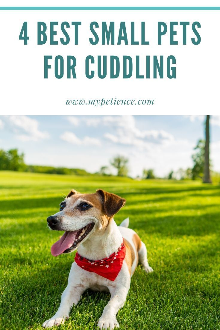 The Best Small Pets For Cuddling Teaching A Pet To Cuddle In 2020 Best Small Pets Small Pets Low Maintenance Pets