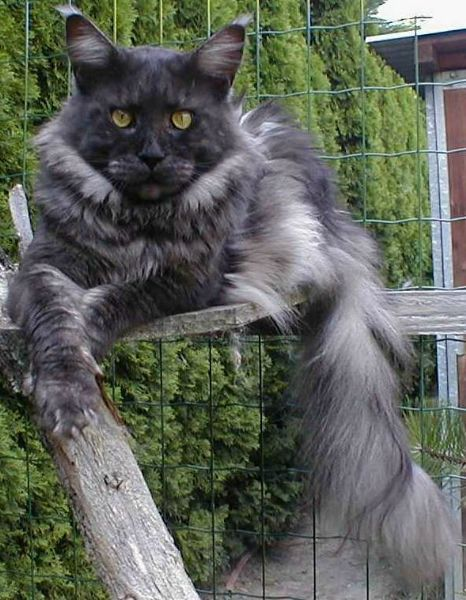 Black Smoke Main Coon.......uhh what is this thing?