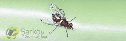 Zeytin sineği büyük kımızı gözleri ve üzerinde  kahverengi , beyaz veya sarı lekeler vardır. Zeytin sineği dişi, ve erkek olmak üzere ikiye ayrılır. Dişi zeytin sineği zeytinin olgunlaşmakta olan meyvenin  içine yumurta bırakır.