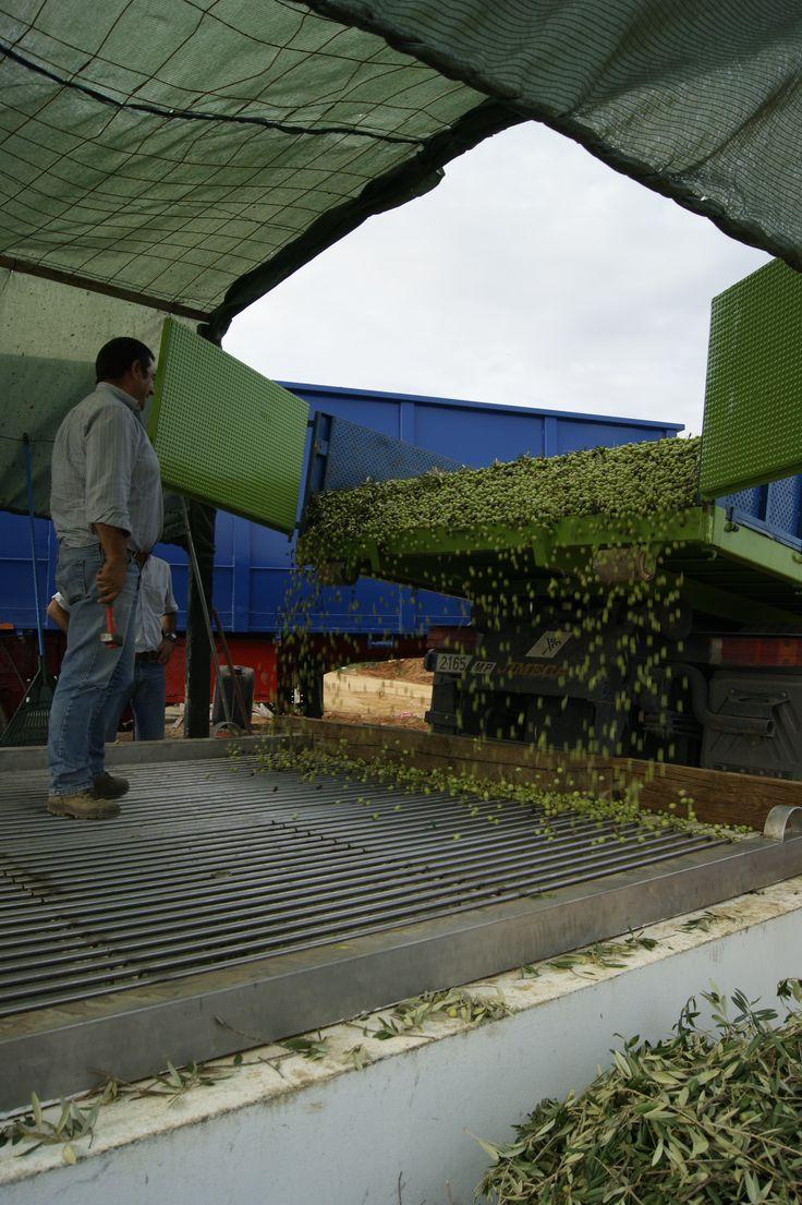 Tan solo 4 horas despues, las aceitunas estan en el molino. Descarga del camion en la Tolva de la Almazara. So only 4 hours later, the olives are in the mill. The truck in the chute of the mill discharge. #Tartessus #AOVE #EVOO #Organic