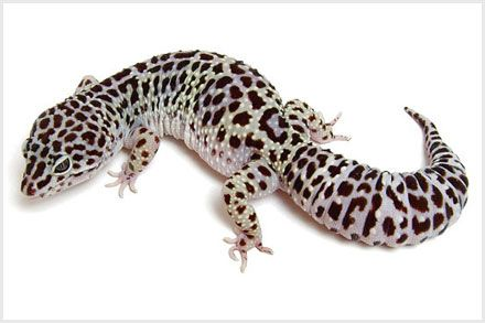 Leopard Gecko Morphs - Mack Snow