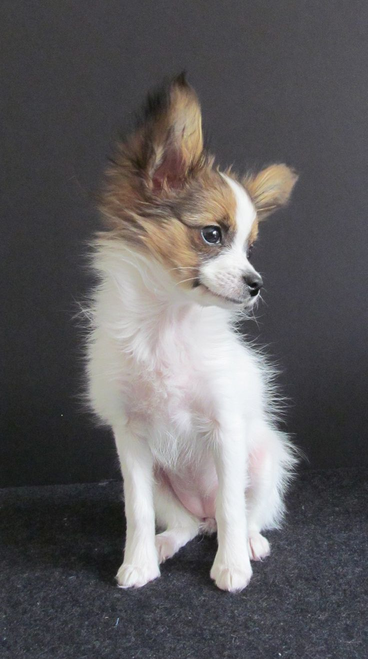 Little Sofie is a tiny Papillon puppy, 3 pounds at 3 months old.