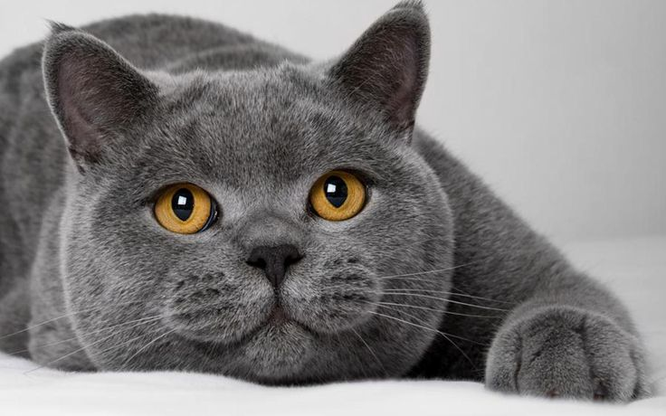 British Blue cat. I have always wanted one of these. they are what inspired the Cheshire cat from Alice in wonderland, because the way there mouth is shaped like a smile