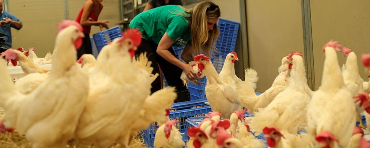 """""""In these first moments, each hen had a choice. To our surprise, many chose to lift off, feathers upon the air, wings flapping madly to gain altitude and a higher perch,"""" Animal Place Education Director Marji Beach said in a statement. """"Soon too, even the most frightened hen would decide her own fate - a nest box maybe, or perhaps a jaunt over to the lowest perch, or maybe simply stopping and taking it all in with her acute eyesight."""""""