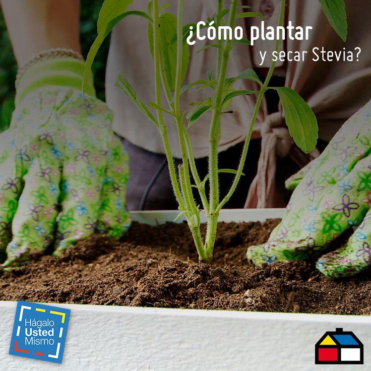 Cómo plantar y secar stevia. #Sodimac #Homecenter #HUM #DIY