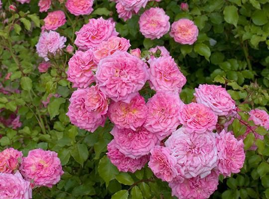 Sweet Drift rose - Just like 'Knock Out,' they bloom nonstop and don't need spraying for disease. But these roses grow only 18 inches tall and about 3 feet wide with an arching, graceful shape.