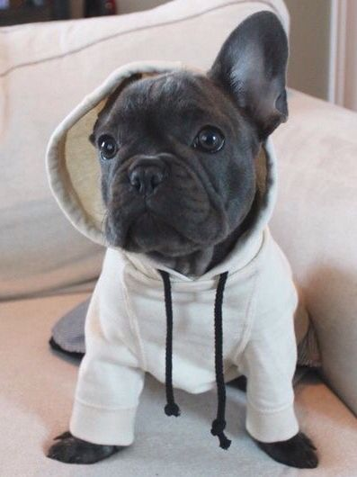 French Bulldog Puppy❤ - Tap the pin for the most adorable pawtastic fur baby apparel! You'll love the dog clothes and cat clothes!
