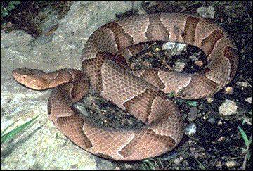 G9450 Snakes Information For Missouri Homeowners Page 2 Missouri Pinterest Missouri