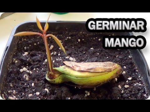 Como Germinar Y Sembrar Una Semilla De Mango || La Huertina De Toni - YouTube