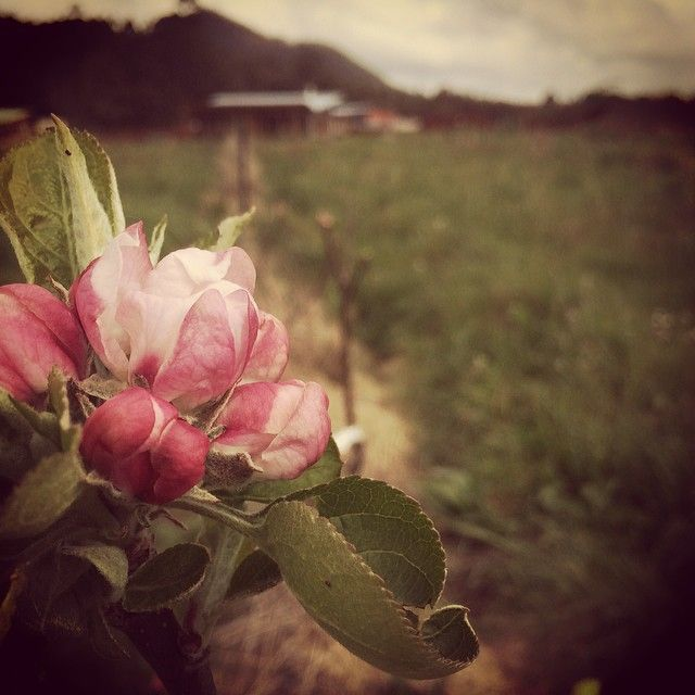 Apple trees in flower outside @mountgnomonfarm butchery and restaurant