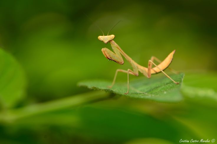 ¡Mantis! by Cristian Castro Morales on 500px