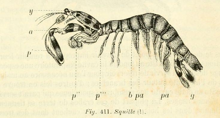 dessins scolaires zoologie - Dessins scolaires zoologie 523 squille - Gravures, illustrations, dessins, images