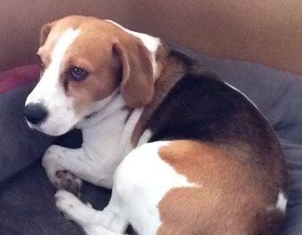 Onze Beagle Sam