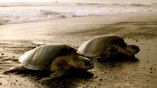 Turtles and Tortuguero in Central-America - KILROY #turtles #beach