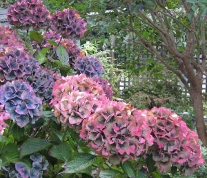 changing-hydrangea - if you listen close enough you can tell what this Simon Says.  Interesting.