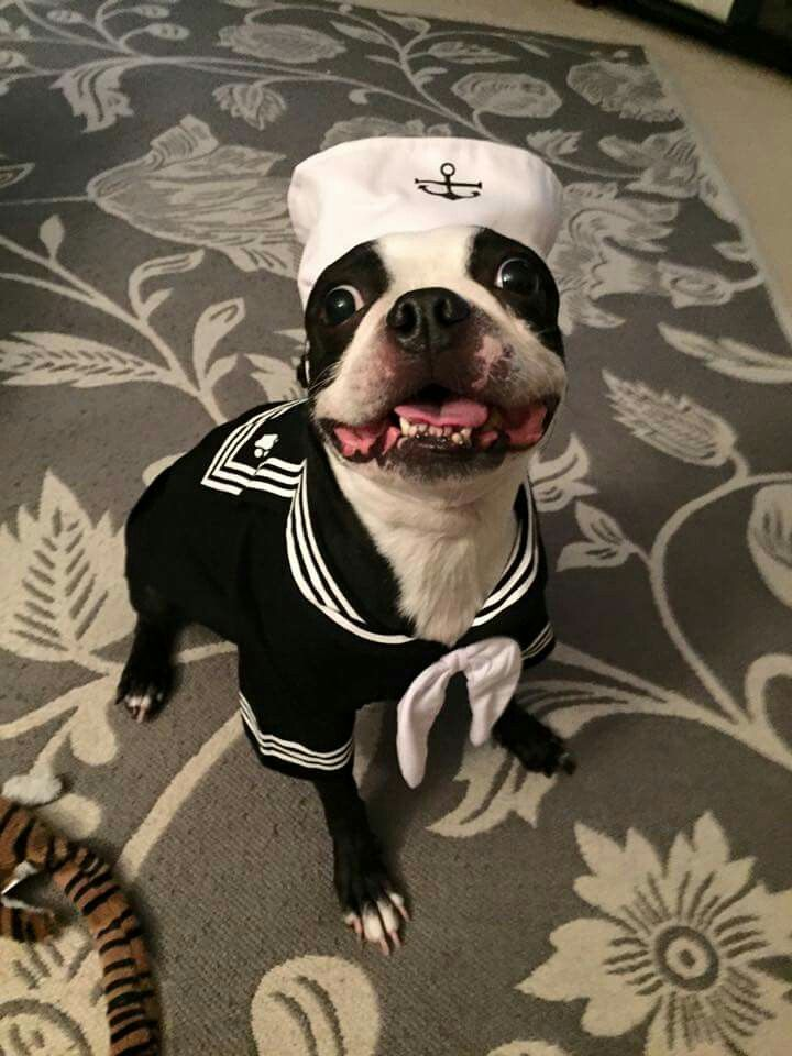 Boston Terrier in a sailor costume.