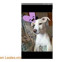 Dracobusca una nueva familia!  #Adopción #adopta #adoptanocompres #adoptar #LealesOrg  Contacto y info: Pulsar la foto o: https://leales.org/animales-en-adopcion/perros-en-adopcion/draco-busca-una-nueva-familia_i2857 ℹ  Draco tiene 8 meses es un perrito cariñoso de tamaño pequeño-mediano. Pesa aprox.6 kilos tienes las vacunas al día y su cartilla. A Draco lo sacaron de la perrera cuando apenas tenía un mes ..después de 7meses han decidido que no pueden tenerlo. Te animas a darle un hogar…