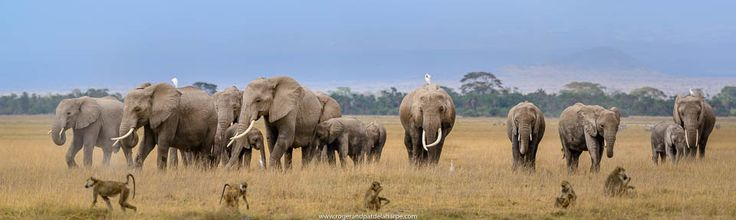We got some lovely images (like this panorama stitched from 5 or 6 images) of an elephant herd walking across the plains of the Amboseli National Park in Kenya.  This one is available as a fine art print.  See more of our work at http://www.rogerandpatdelaharpe.com