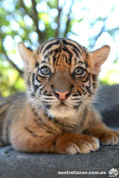 Beautiful Baby - Australia zoo's new Tiger Cub