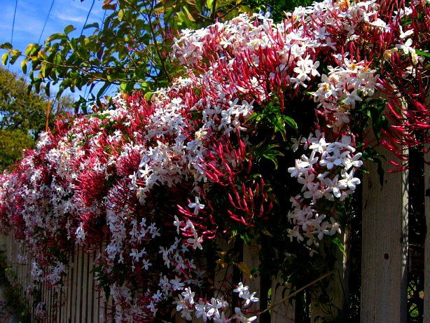 Pink jasmine | landscape architect&#39-s pages