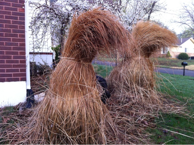 Spring Lawn & Garden tip: bind ornamental grasses before giving them a clean cut.  Will save you hours of time and frustration... TRUST ME!: Art Gardens, Gardens Serious, Gardens Goddesses, Gardens Landscape, Greenhouse Gardens, Gardens Grass, Gardens Backup, Gardens Tips, Gardens Seasons Spring