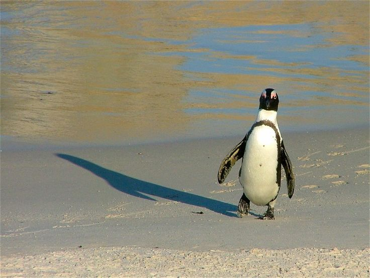 African Penguin - Boulders Beach, Cape Town.