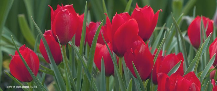 Tulip Red Hunter | Perennial Tulips Bulbs for Sale | COLORBLENDS