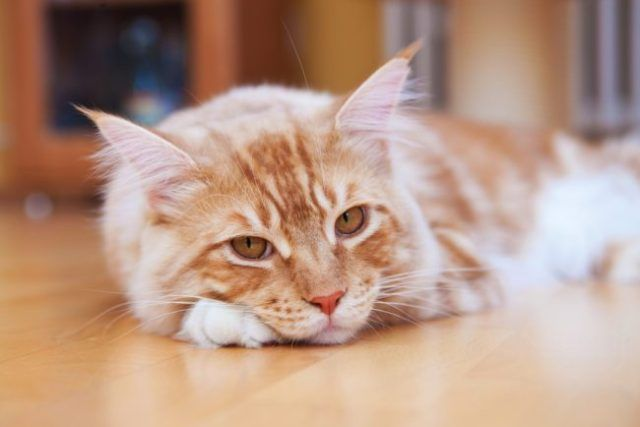 Premature Euthanasia A Terminal Solution Should Never Be Taken Lightly In 2020 Modern Cat Fur Baby Cat Cats