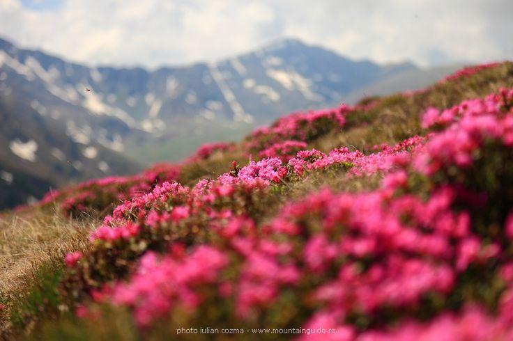 Carpathian Mountains wildflowers: Rhododendron  6  © Iulian Cozma www.MountainGuide.ro