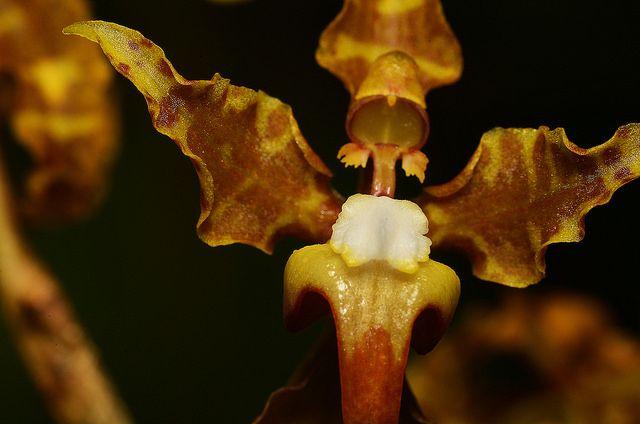 Cyrtochilum divaricatum; Valle del Cauca 1800 m, Colombia, in-situ - Flickr - Photo Sharing!