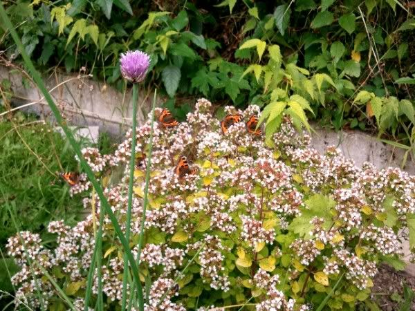 What my daughter calls the 'butterfly bush', aka oregano, in its late summer glory - with resident butterflies