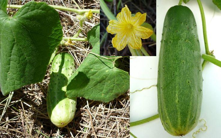 Siberian Cucumber Cucumis Sativus Seeds