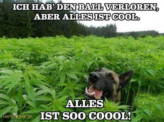 Süßer Hund hat seinen Ball im Marijuana-Feld verloren! Weitere lustige Bilder findest Du auf Lustibee.de! #lustig #witzig #hund #marijuana #spaß #lachen