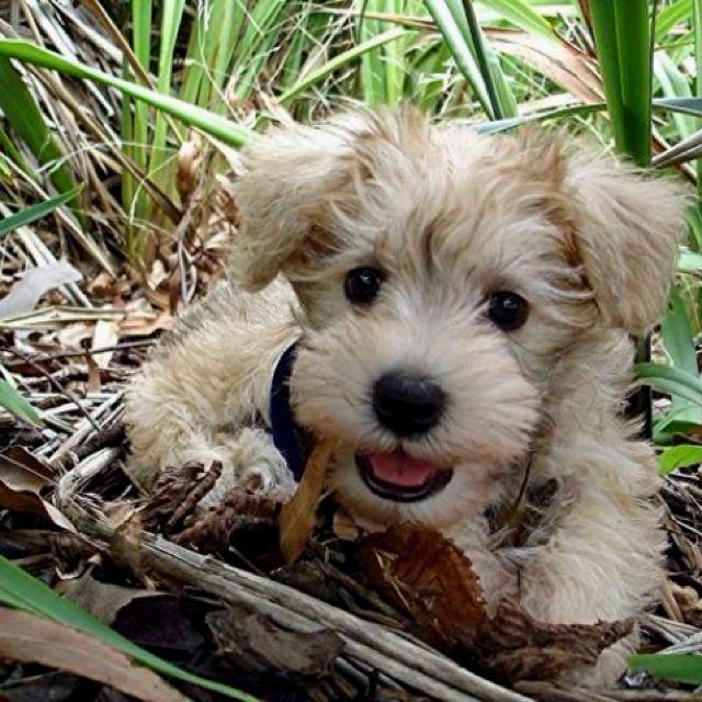 cutie!! shnoodle- schnauzer poodle mix