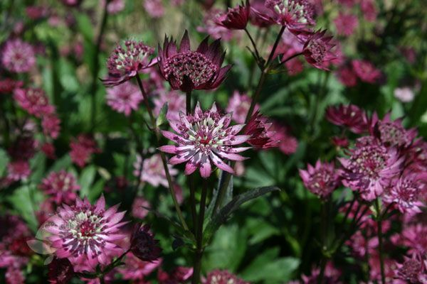 Great black masterwort Astrantia major 'Claret', an umbellifer in disguise and one of the darkest-flowered astrantias