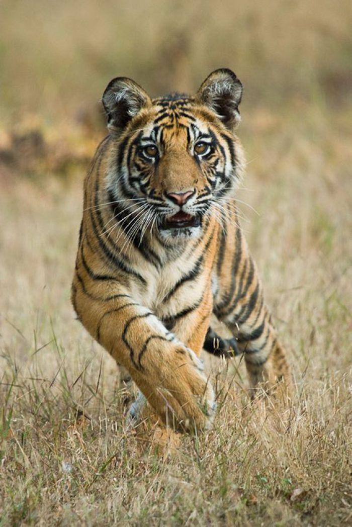 Een ontzettend prachtige Bengaalse tijger in Bandhavgarh National Park in India