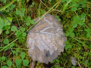 Uppdrag 6B: NATURSPANARNA Hitta ett löv med mönster på baksidan av lövet! Är det någon, som har gått därinne? Här får du svaren och hittar fakta: http://naturspanarna.se/bladeniskogenhosten-2/