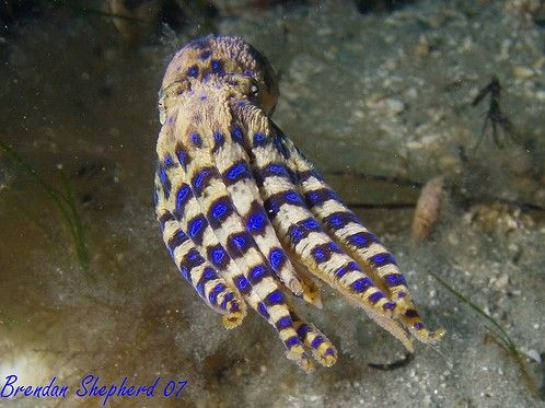 Swimming blue ring octopus. You have to admire the sense of style....