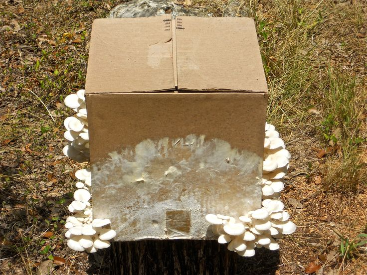 thesis on oyster mushroom Get expert answers to your questions in mushroom i am working on the pleurotus mushroom for my thesis (oyster mushroom).