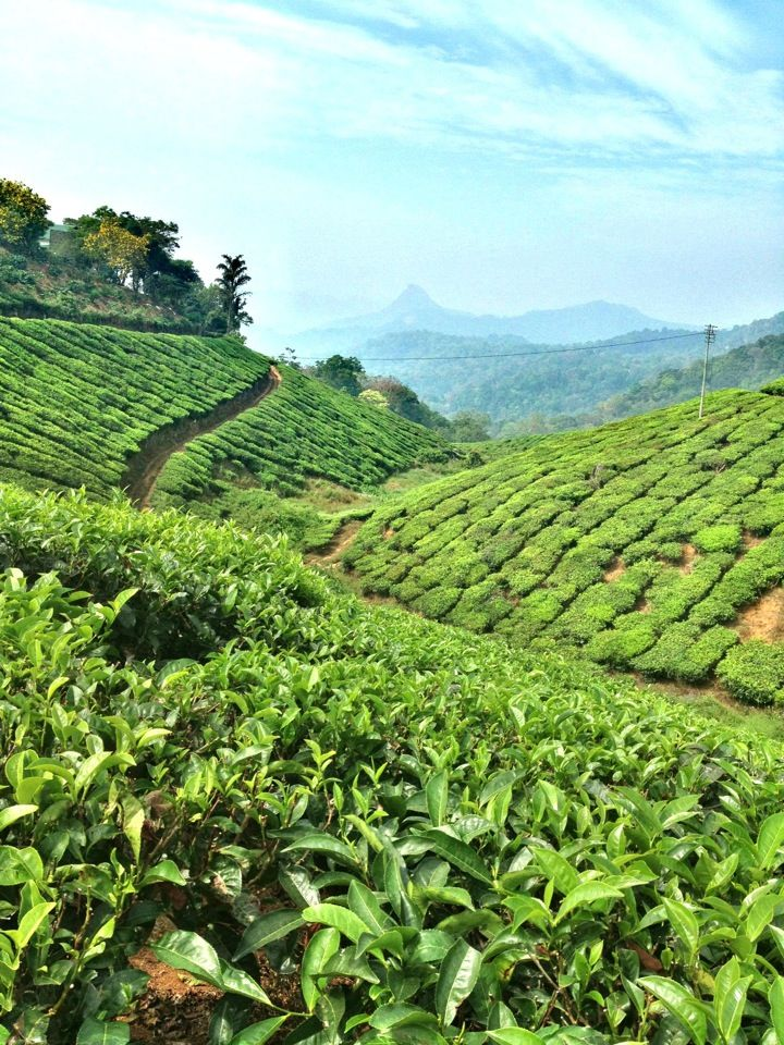 Munnar known for it's epic Tea Gardens